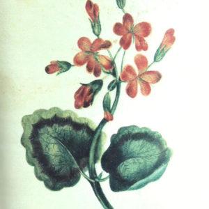 Dibujo de flores.|Dibujo a tinta de color. Colección particular. Icod de Los Vinos, Tenerife